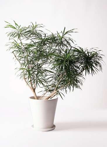観葉植物 ドラセナ アンガスティフォリア 10号 ボサ造り サブリナ 白 付き