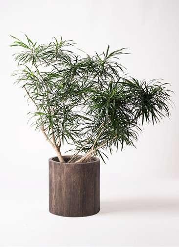 観葉植物 ドラセナ アンガスティフォリア 10号 ボサ造り アルファシリンダープランター 付き