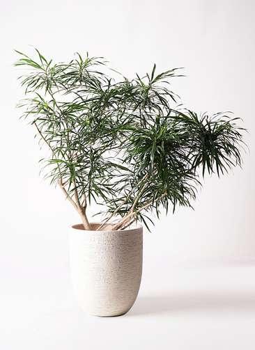 観葉植物 ドラセナ アンガスティフォリア 10号 ボサ造り ビアスアルトエッグ 白 付き