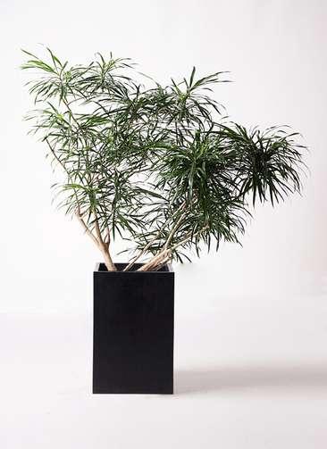 観葉植物 ドラセナ アンガスティフォリア 10号 ボサ造り セドナロング 墨 付き