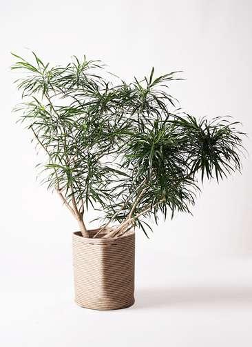 観葉植物 ドラセナ アンガスティフォリア 10号 ボサ造り リブバスケットNatural 付き