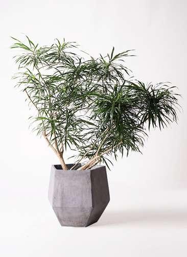 観葉植物 ドラセナ アンガスティフォリア 10号 ボサ造り ファイバークレイGray 付き