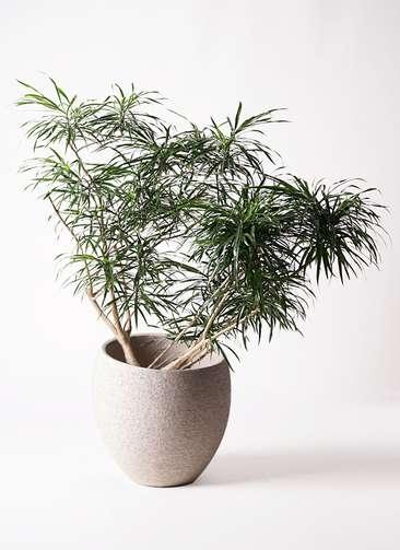 観葉植物 ドラセナ アンガスティフォリア 10号 ボサ造り エコストーンLight Gray 付き