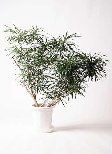 観葉植物 ドラセナ アンガスティフォリア 10号 ボサ造り プラスチック鉢