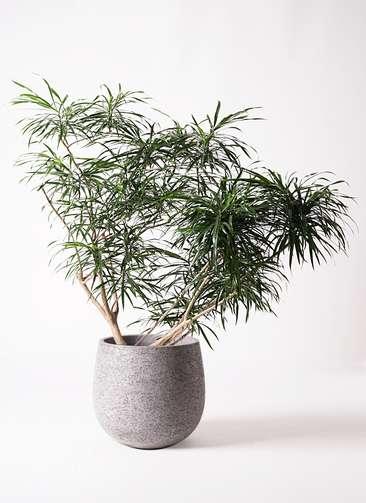 観葉植物 ドラセナ アンガスティフォリア 10号 ボサ造り エコストーンGray 付き