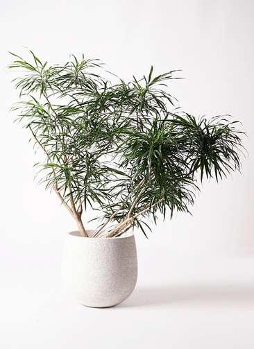 観葉植物 ドラセナ アンガスティフォリア 10号 ボサ造り エコストーンwhite 付き