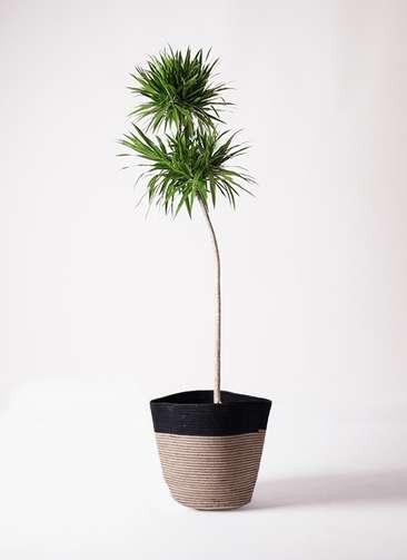 観葉植物 ドラセナ ボレロ 10号 リブバスケットNatural and Black 付き