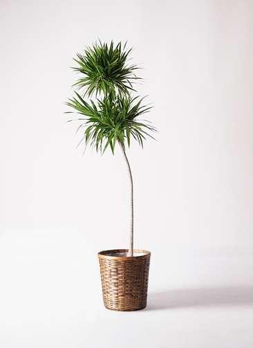 観葉植物 ドラセナ ボレロ 10号 竹バスケット 付き