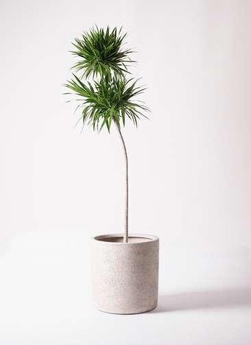 観葉植物 ドラセナ ボレロ 10号 サンディ シリンダー 白 付き
