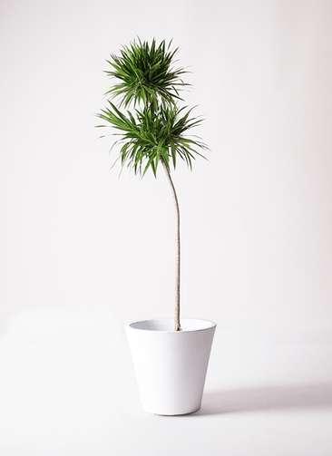 観葉植物 ドラセナ ボレロ 10号 フォリオソリッド 白 付き