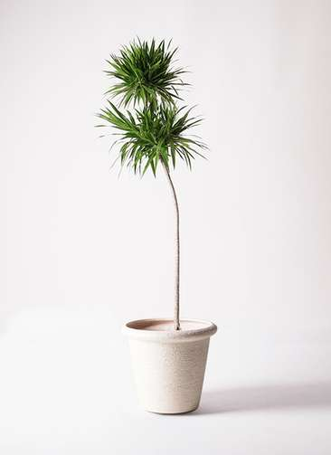 観葉植物 ドラセナ ボレロ 10号 ビアスリムス 白 付き