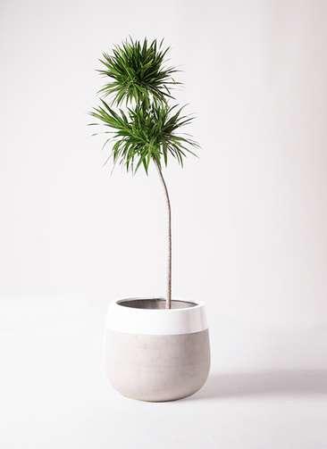 観葉植物 ドラセナ ボレロ 10号 ファイバーストーンタウルス ミドル 白 付き