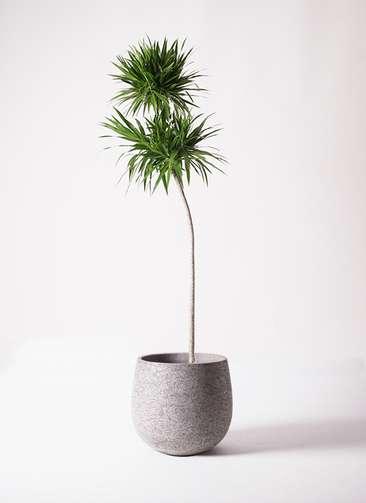 観葉植物 ドラセナ ボレロ 10号 エコストーンGray 付き