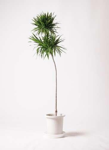 観葉植物 ドラセナ ボレロ 10号 プラスチック鉢