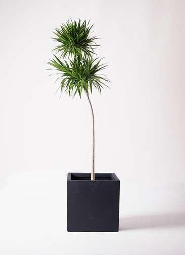 観葉植物 ドラセナ ボレロ 10号 ベータ キューブプランター 黒 付き