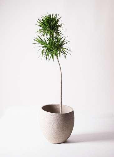 観葉植物 ドラセナ ボレロ 10号 エコストーンLight Gray 付き