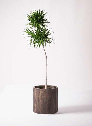 観葉植物 ドラセナ ボレロ 10号 アルファシリンダープランター 付き
