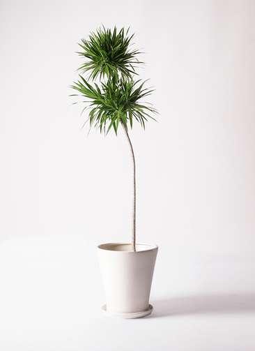 観葉植物 ドラセナ ボレロ 10号 サブリナ 白 付き