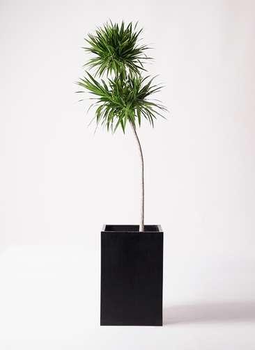 観葉植物 ドラセナ ボレロ 10号 セドナロング 墨 付き
