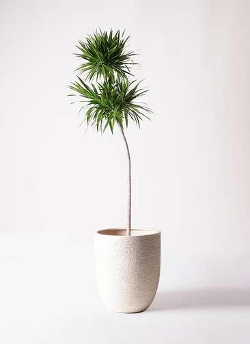 観葉植物 ドラセナ ボレロ 10号 ビアスアルトエッグ 白 付き