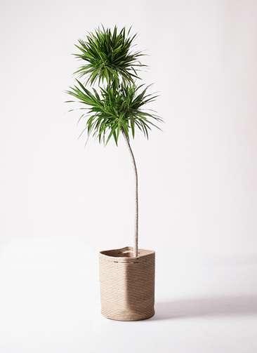 観葉植物 ドラセナ ボレロ 10号 リブバスケットNatural 付き
