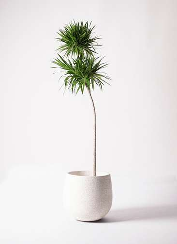 観葉植物 ドラセナ ボレロ 10号 エコストーンwhite 付き