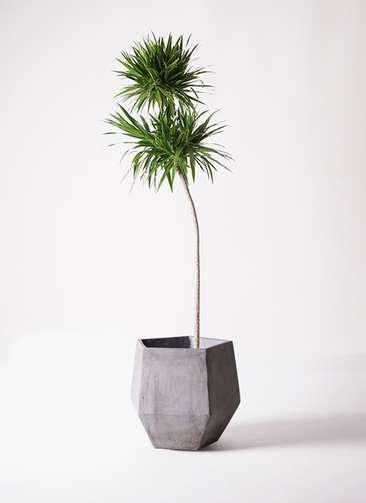 観葉植物 ドラセナ ボレロ 10号 ファイバークレイGray 付き