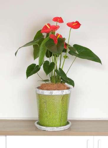 観葉植物 アンスリウム ダコタ 6号 アンティークテラコッタGreen 付き