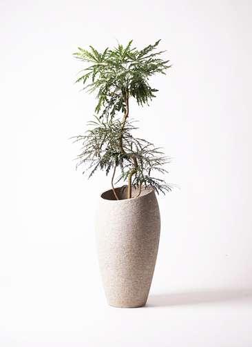 観葉植物 グリーンアラレア 曲り8号 エコストーントールタイプ Light Gray 付き