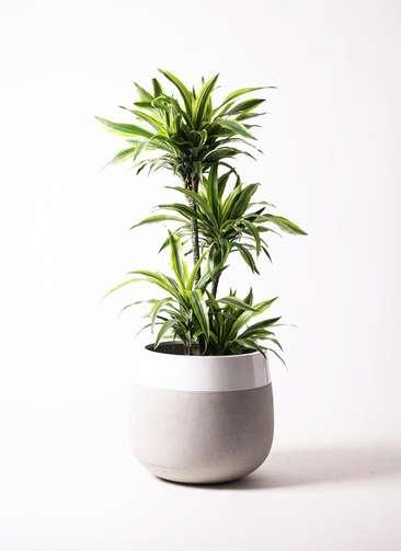 観葉植物 ドラセナ ワーネッキー レモンライム 10号 ファイバーストーン タウルス ミドル 白 付き