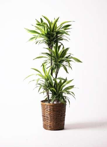 観葉植物 ドラセナ ワーネッキー レモンライム 10号 竹バスケット 付き