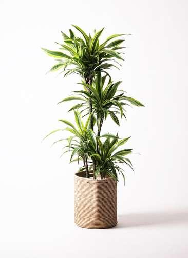 観葉植物 ドラセナ ワーネッキー レモンライム 10号 リブバスケットNatural 付き