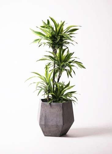 観葉植物 ドラセナ ワーネッキー レモンライム 10号 ファイバークレイGray 付き