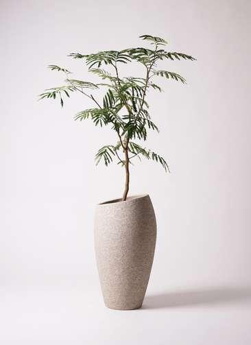 観葉植物 エバーフレッシュ 8号 ボサ造り エコストーントールタイプ Light Gray 付き