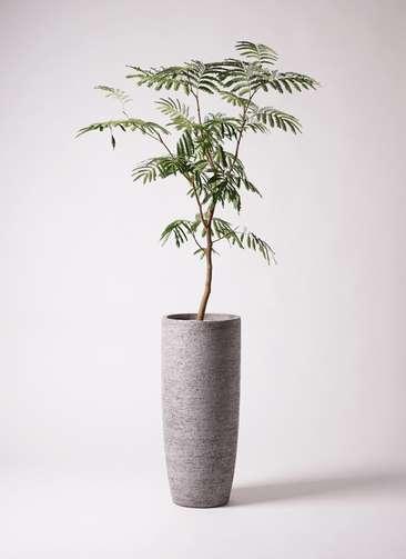 観葉植物 エバーフレッシュ 8号 ボサ造り エコストーントールタイプ Gray 付き