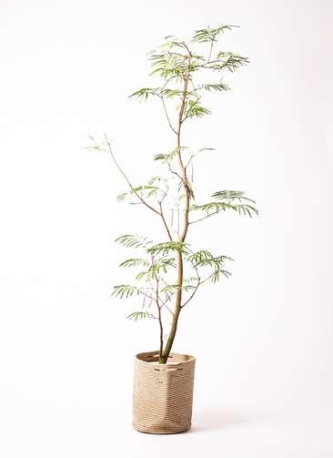 観葉植物 エバーフレッシュ 10号 リブバスケットNatural 付き