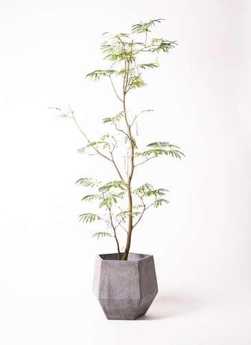 観葉植物 エバーフレッシュ 10号 ファイバークレイGray 付き