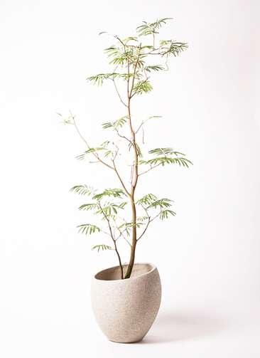 観葉植物 エバーフレッシュ 10号 ボサ造り エコストーンLight Gray 付き