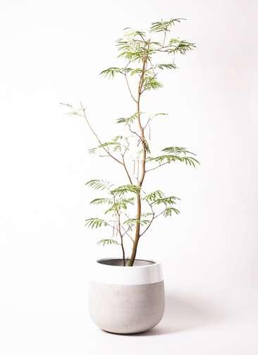 観葉植物 エバーフレッシュ 10号 ボサ造り ファイバーストーンタウルス ミドル 白 付き