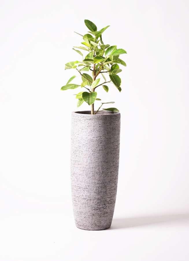 観葉植物 フィカス アルテシーマ 7号 ストレート エコストーントールタイプ Gray 付き