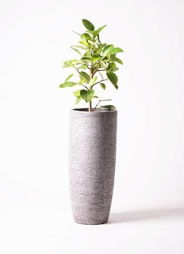観葉植物 フィカス アルテシーマ 7号 エコストーントールタイプ Gray 付き