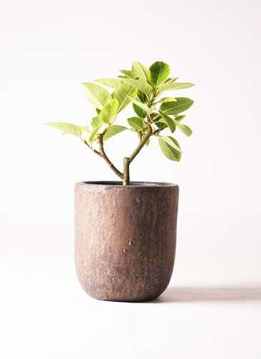 観葉植物 フィカス アルテシーマ 6号 ストレート ビトロ ウーヌム コッパー釉 付き