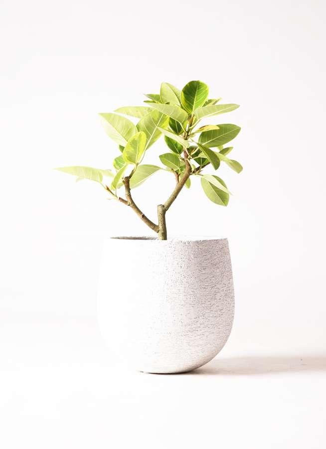 観葉植物 フィカス アルテシーマ 6号 ストレート エコストーンwhite 付き