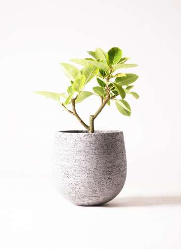 観葉植物 フィカス アルテシーマ 6号 エコストーンGray 付き