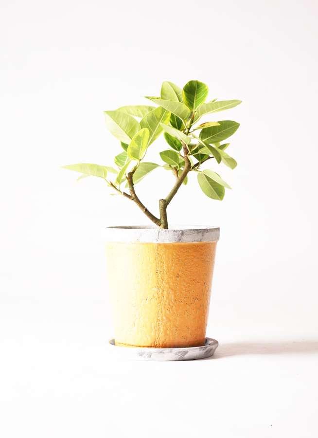 観葉植物 フィカス アルテシーマ 6号 ストレート アンティークテラコッタOrange 付き