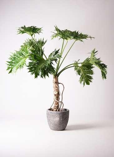 観葉植物 セローム ヒトデカズラ 8号 根あがり アビスソニアミドル 灰 付き