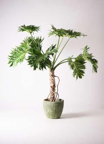 観葉植物 セローム ヒトデカズラ 8号 根あがり アビスソニアミドル 緑 付き