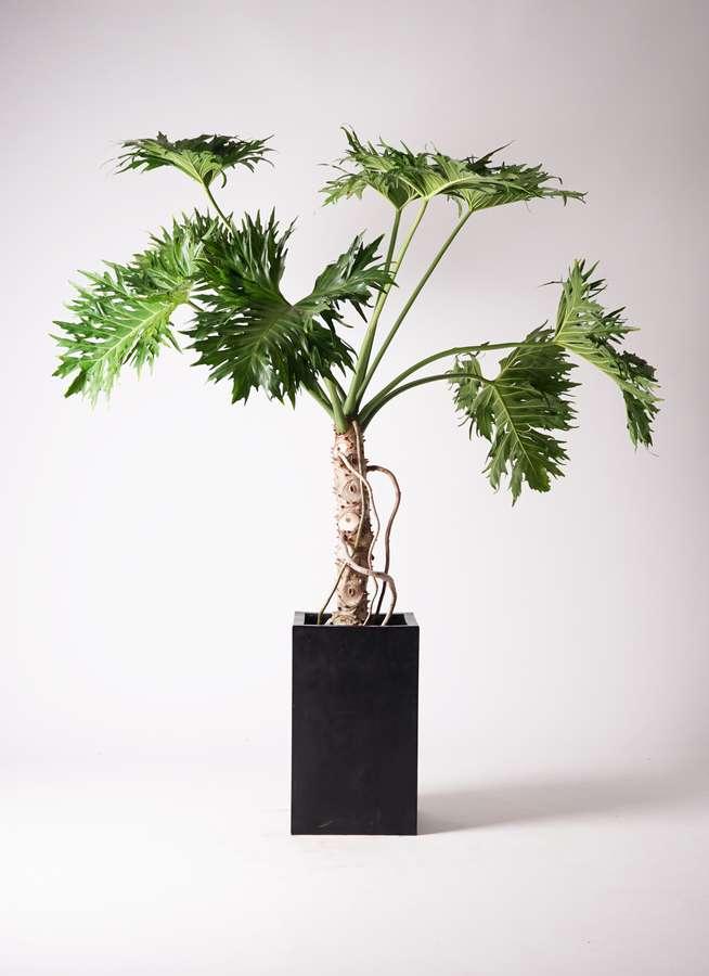 観葉植物 セローム ヒトデカズラ 8号 根あがり セドナロング 墨 付き