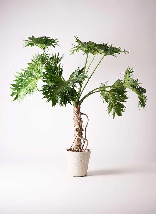 観葉植物 セローム ヒトデカズラ 8号 根あがり ビアスソリッド 白 付き