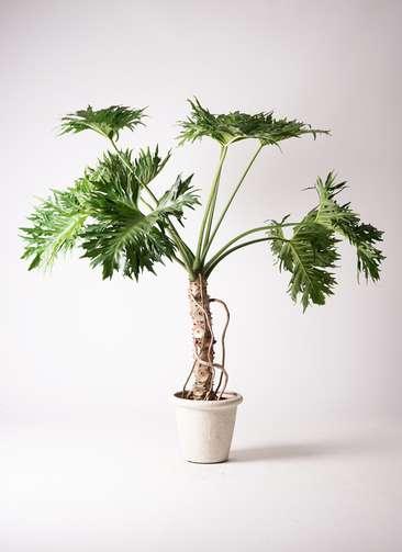 観葉植物 セローム ヒトデカズラ 8号 根あがり ビアスリムス 白 付き